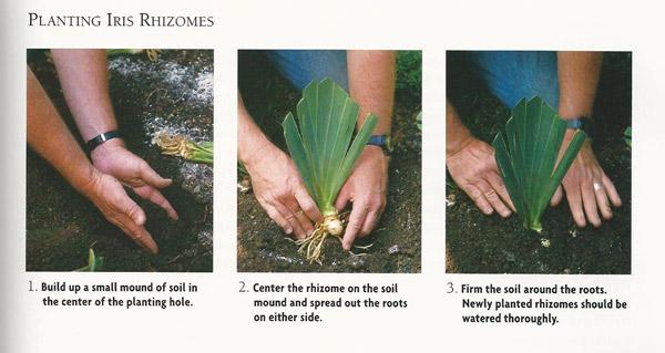 how do you plant bulbs