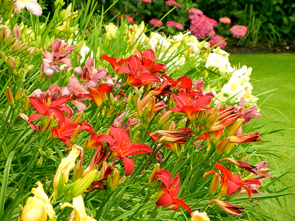 Day Lilies Brighten Our Summer Garden