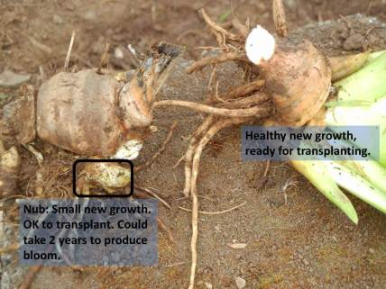 Cut or break off new growth from original rhizome