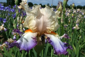"""Wings At Dawn"", winner 2013 Iris Naming Contest"