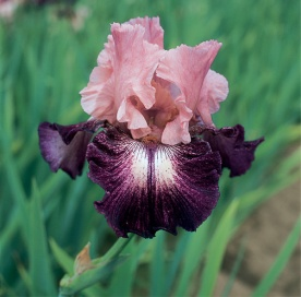 iris-cupid's-arrow
