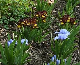 Dwarf Iris, Schreiner's Iris Gardens