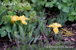 Dwarf Bearded Iris|Gold Canary