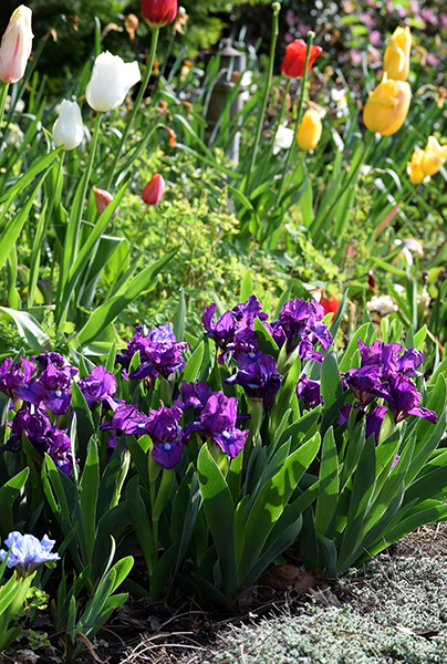 Consider The Early Blooming Iris