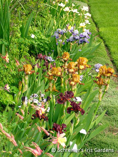 Intermediate Iris|Schreiner's Iris Gardens