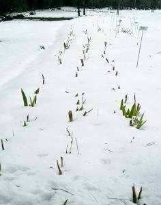 bearded-iris-in-snow