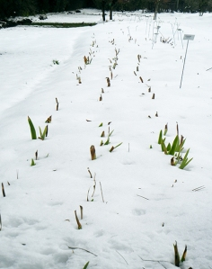 bearded-iris-in-snow