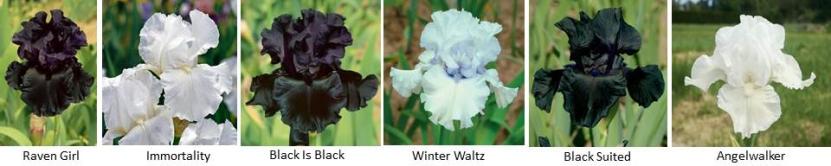 Schreiner's Iris Gardens|Bearded Iris