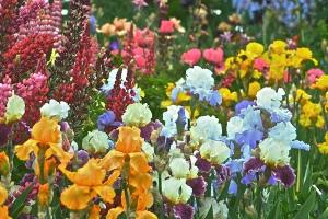Tall Bearded Iris Schreiner's Iris Gardens