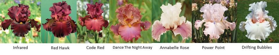 Tall Bearded Iris|Schreiner's Iris Gardens