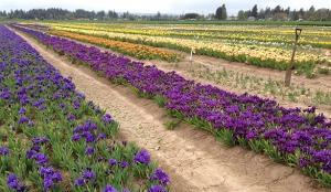 Schreiner's Gardens|Dwarf Iris
