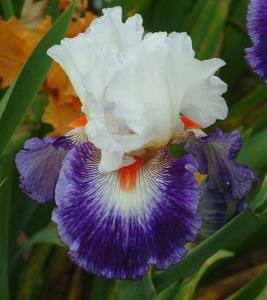 Tall Bearded Iris Gypsy Lord