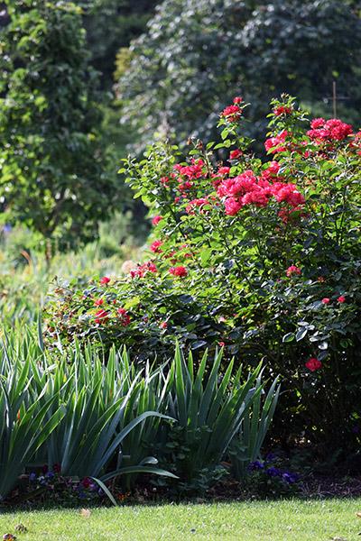 Iris Care|Schreiner's Iris Gardens