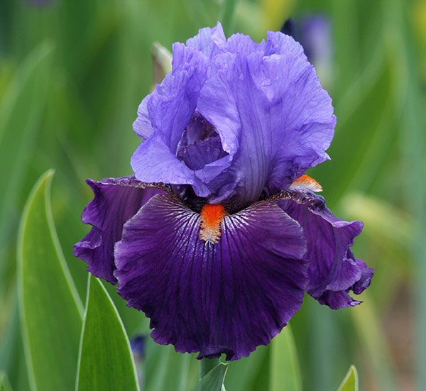 iris contest  for the love of iris, Beautiful flower