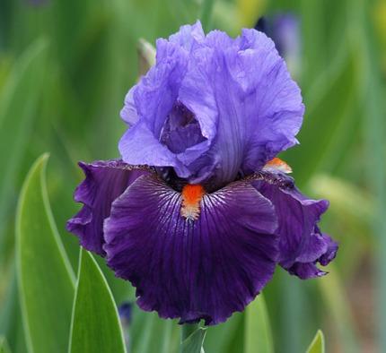 Schreiner Iris|Iris Naming Contest