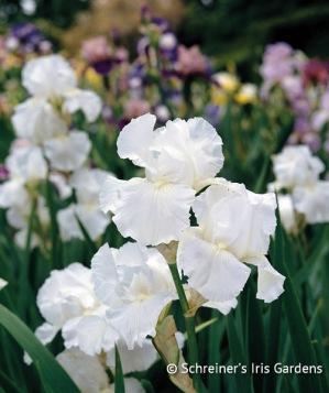 White Iris|Immortality