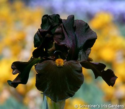 Schreiner's Iris Gardens | Tall Bearded Iris