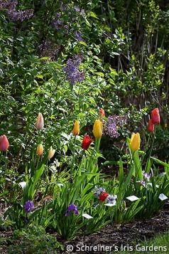 Bearded Iris | Dwarf Iris