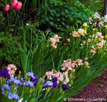 Bearded Iris | Intermediate Iris